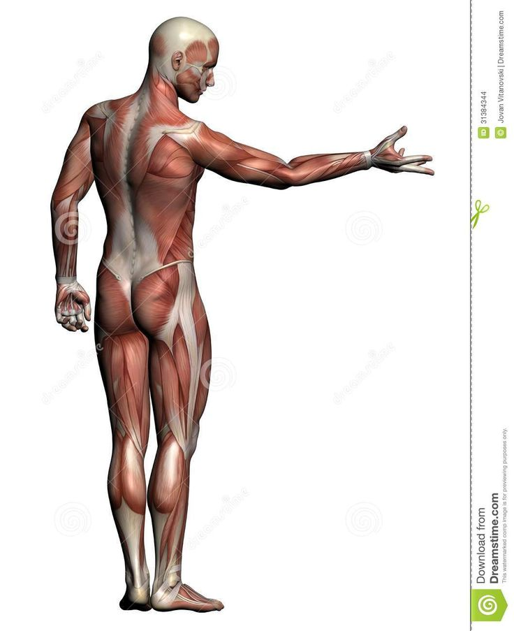 60 best anatomy images on pinterest | human anatomy, design and, Muscles