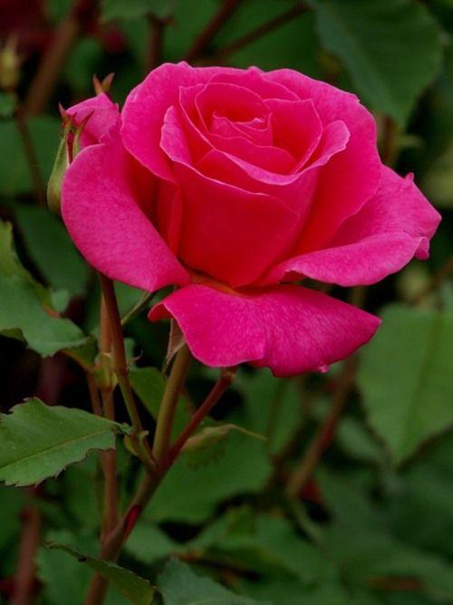 beautiful rose rose the prude pinterest beautiful