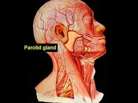 How To Save The Facial Nerve During Parotid Salivary Gland Tumor Surgery... (wow! A look at the main trunk of the facial nerve)