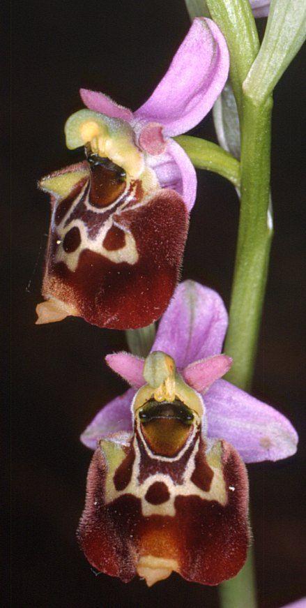 Ophrys aegirtica  - From Orange, France
