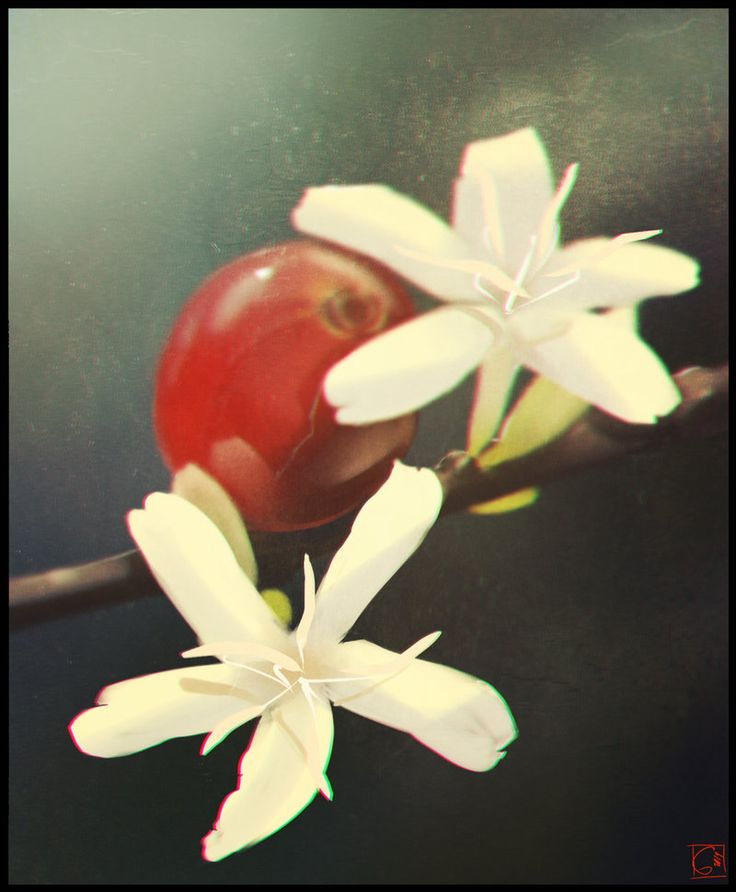 just coffee flower by GaudiBuendia