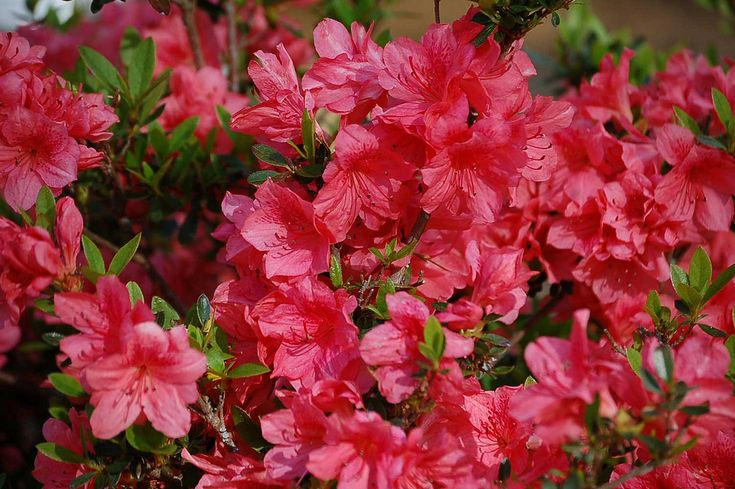 Best 25 azalea bush ideas on pinterest azelea bush when to prune azaleas and pink flowering - Care azaleas keep years ...