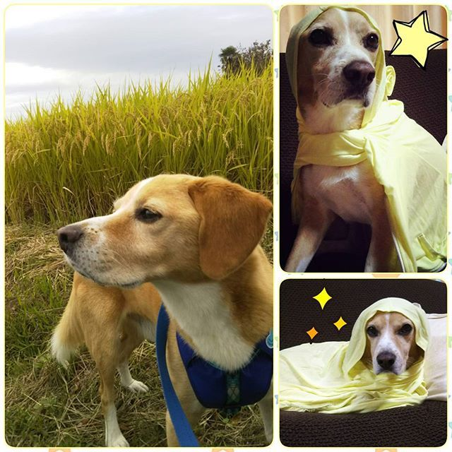 黄色✨ . チワズーのとっても可愛い❤ ハルくん🐶 @or.yemi  さんから #黄色バトン  頂きました! ありがとうございます😆🎵 . 黄色は… この時期やはり稲穂🌾✨ ママのパーカー着せたら 黄色忍者🐶になっちゃった(笑)😂 . バトンは置いておきますので よかったら拾って下さいませ💕 . #黄色#愛犬#犬バカ部#ビーグルミックス#ミックス犬#beaglemix#dogstagram #dog#mydog#元保護犬