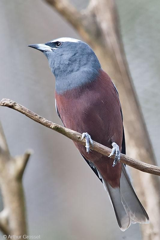 White-browed Woodswallow (Artamus superciliosus) videos, photos and sound recordings | the Internet Bird Collection | HBW Alive