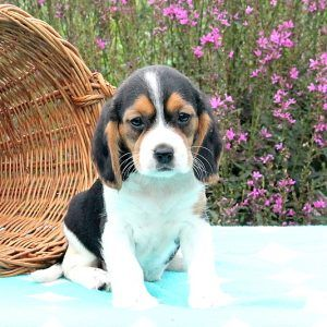 Beaglier Puppies For Sale In PA