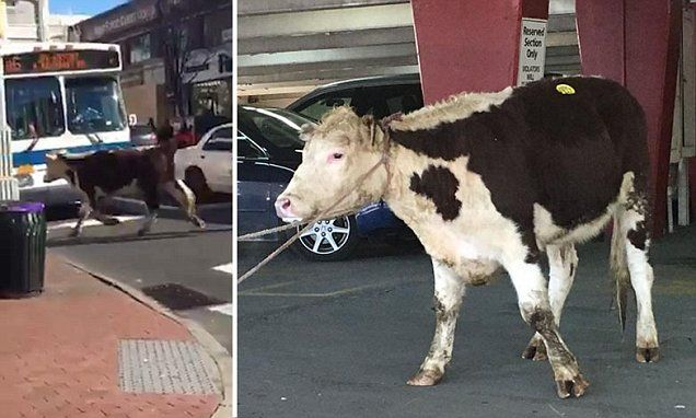 Astonishing moment runaway COW canters through the streets of New York