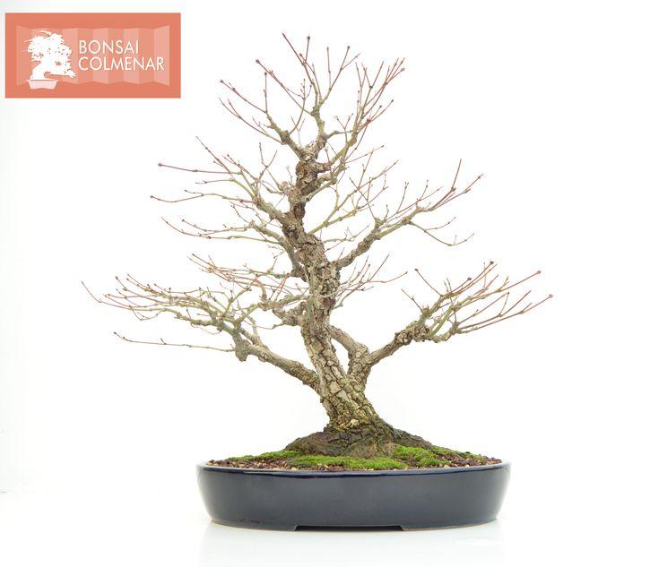 Acer Palmatum Arakawa a la venta en Bonsai Colmenar. Tienda y Escuela de Bonsai.