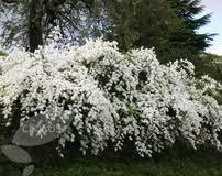 pearl bush-ideas