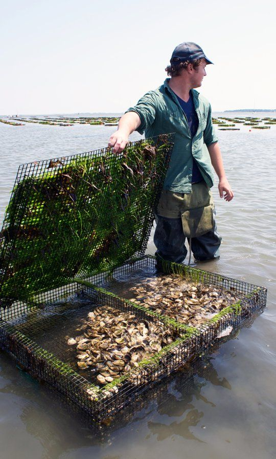How Oysters Are Grown: A Visit to Island Creek Oysters in Duxbury, Massachusetts