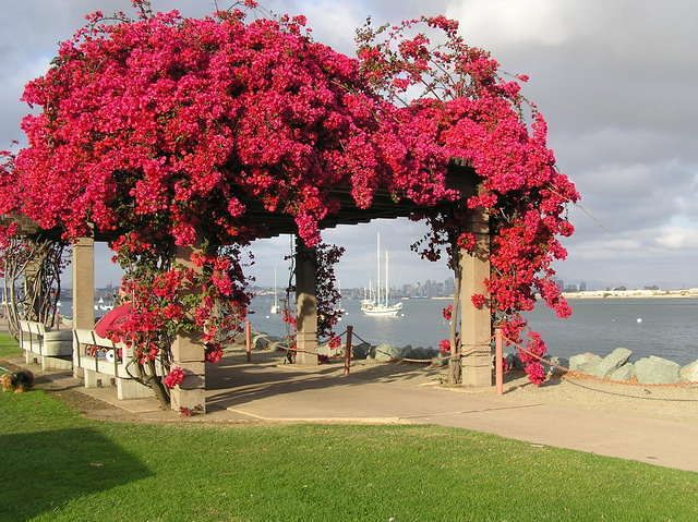 Red bougainvillea growing over the walkway at Shelter Island. Shelter Island is a great place to take a walk along the San Diego Bay and Shoreline Park. There is a fishing dock, boat launch, small sandy beach with a couple fire pits, children's play area, restaurants, hotels and marinas on Shelter Island in San Diego.