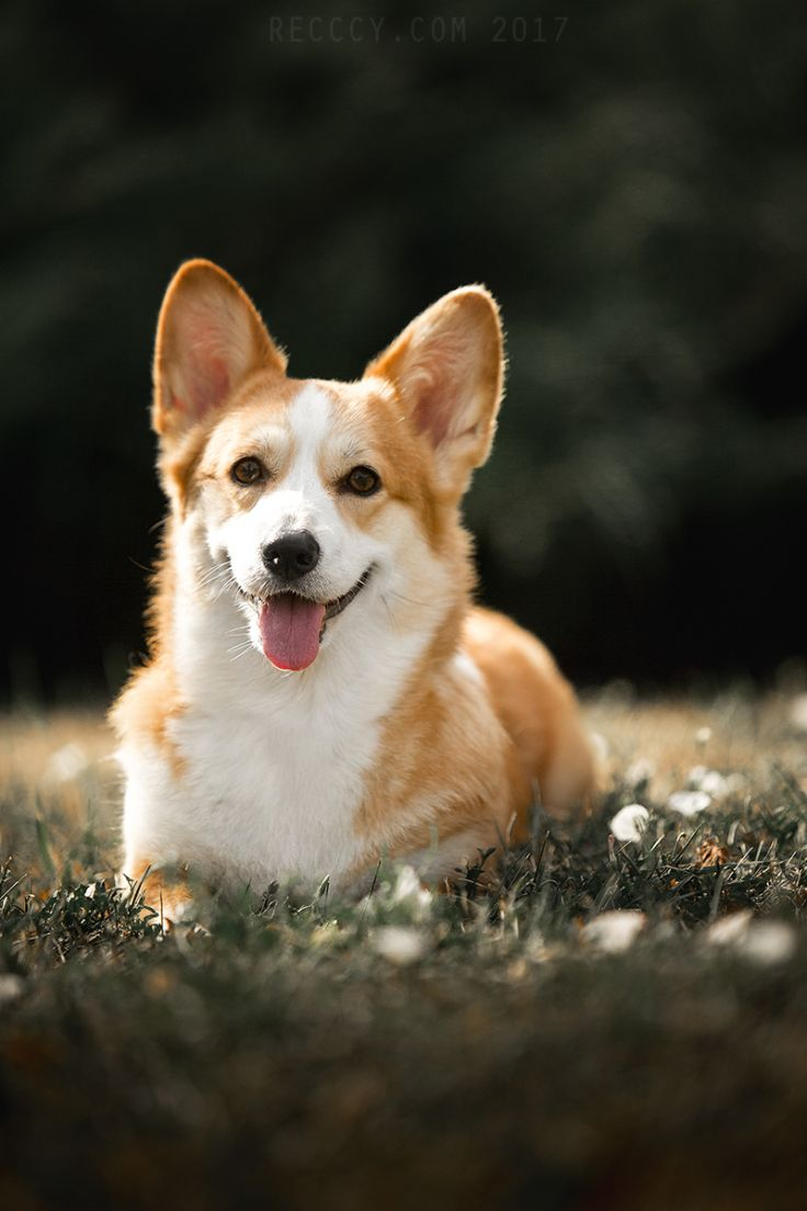 Pembroke Welsh Corgi By Kseniya Ressy Corgi Welsh Corgi Dog Lovers
