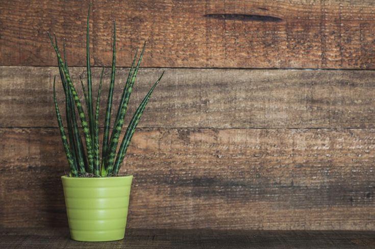 Piante da interno, piante da camera da letto: Sansevieria