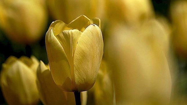 Tulipanes, la primera burbuja especulativa de la Historia