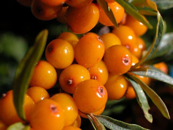 The 10 healthiest berries for you - Buckthorn:  http://www.senses.se/de-10-nyttigaste-baren/