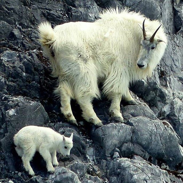 Here's some serious cute: A mountain goat nanny and kid at Glacier Bay #NationalPark in Alaska. Mountain goats are not true goats at all but belong to the antelope family. The hooves of mountain goats consist of two toes that can move independently from each other, allowing for their stunning agility on steep terrain. Photo by Richard Nelson, National Park Service.