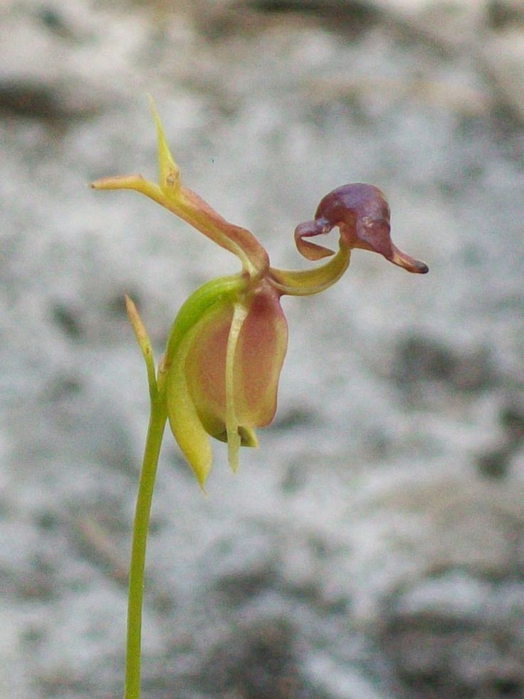 Flying-Duck Orchid [Caleana major] Topham Track, Ku-ring-gai Chase National Park, Australia