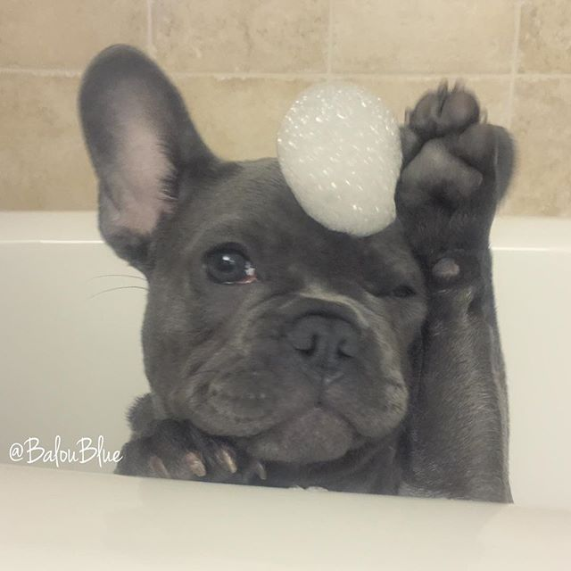 """Can this Bath be over, please?"", French Bulldog Puppy who is over it.❤️❤️"