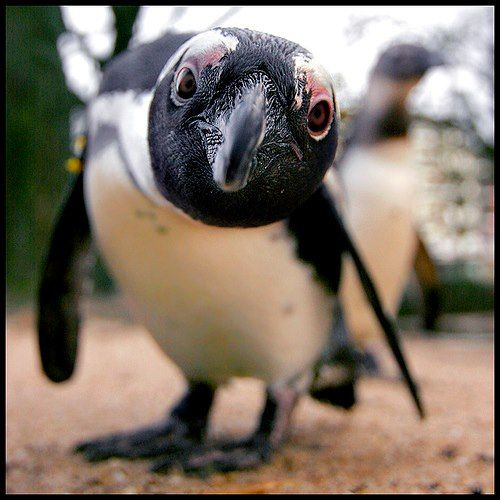 The African Penguin (Spheniscus demersus), also known as the Black-footed Penguin  (I love all penguins! <3!)