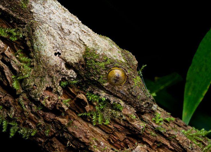 Great Der Gecko ist ein Bewohner des Regenwaldes und liefert sich mit seinen Mitbewohnern einen beachtlichen Wettbewerb