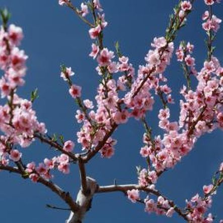 How To Root From A Cutting Of A Blossoming Cherry Tree