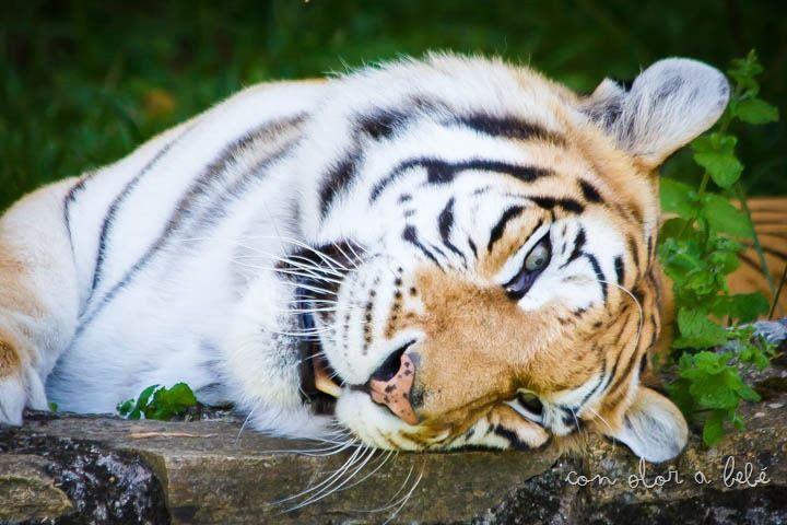 Uno de los tigres que residen en VigoZoo, Agosto'14