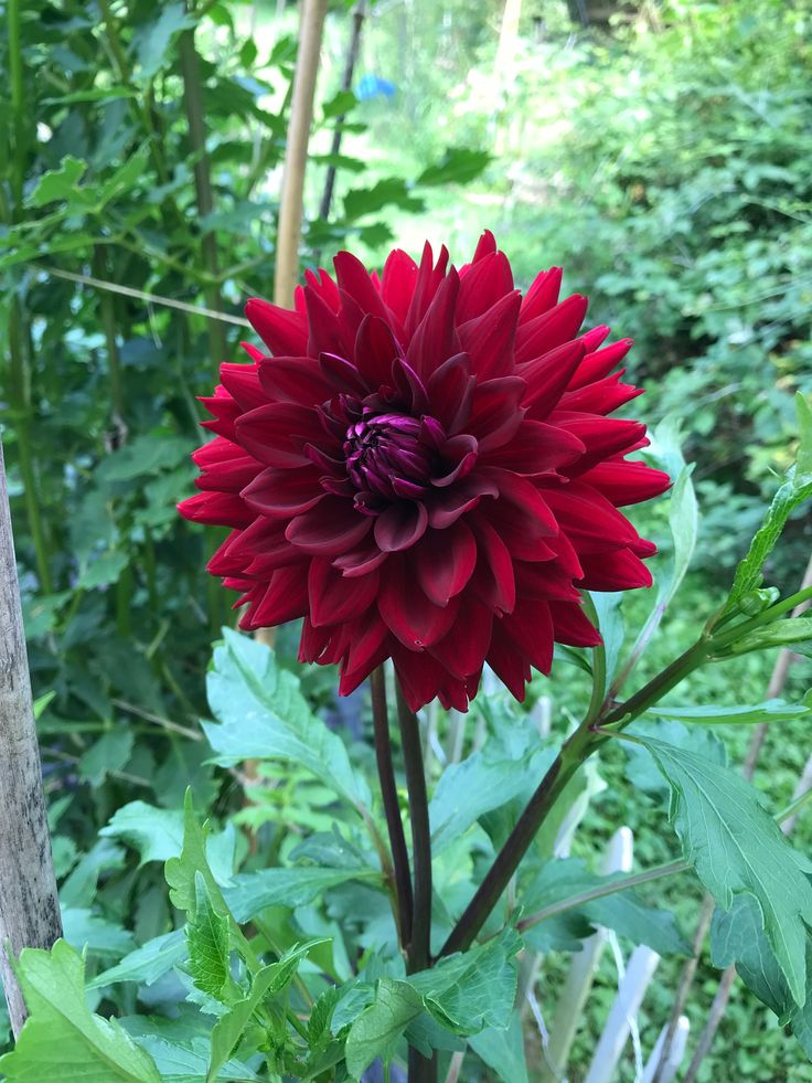 Lover Boy Second Year In My Garden My Tuber Dahlia Flower Dahlia Flowers