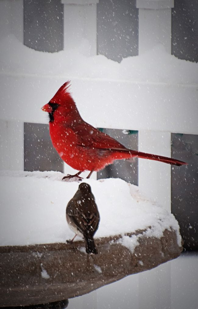 cardinals in the snow  wv state bird