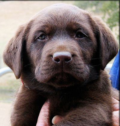 chocolate lab puppy... I've already named her Riley. I just have to wait until we get a bigger house with a bigger yard.