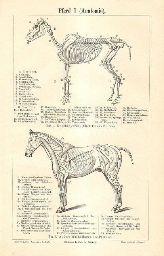 22 best Horse images on Pinterest   Animal anatomy, Horse anatomy ...