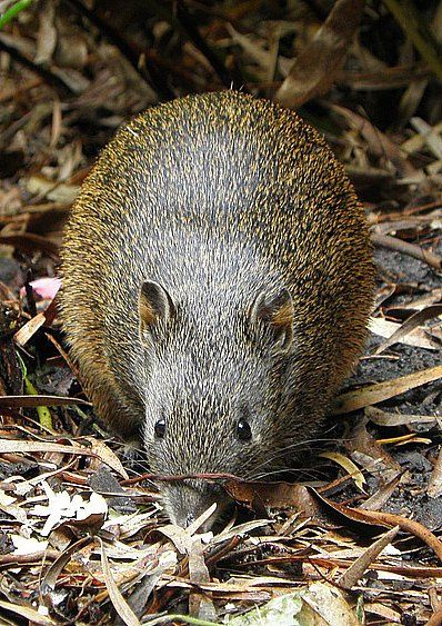 Southern Brown Bandicoot. Endemic to Australia, bandicoots are marsupials (not rodents) complete with pouch, however, as they are so low to the ground, their pouch, fortunately, faces backward.