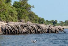 Zambezi Voyager, Elephant on Chobe River