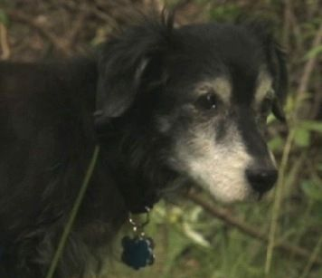 Great news update: 88-year-old World War II veteran Ed Krpuczak, who earned a Purple Heart and four Bronze Stars, recently moved to assisted living in Michigan, leaving behind his 14 year old rescue dog named Buddy. Buddy needed a new home and after 400 offers, Buddy found a loving forever home.