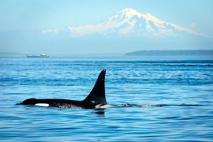 Canada May Approve an Oil Pipeline That Threatens the World's Most Endangered Killer Whales | TakePart