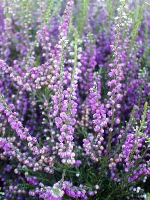 1272 Best Plant And Garden Colours Purple Images On Pinterest Flower Beds Flowers Garden And