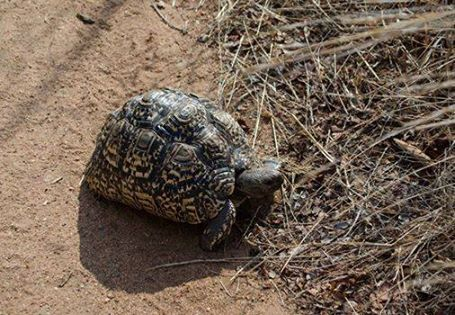 A quick quiz everyone! Whilst out on a game drive at Shiduli yesterday, we came across this lovely Leopard Tortoise as it ambled along in front of us. As part of the small five, can you perhaps name the other 4?