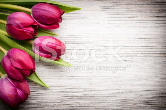 Tulip. royalty-free stock photo