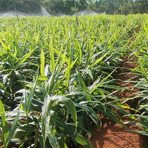 Lograr buenos niveles de producción en el cultivo de jengibre requiere de mucho sol, temperaturas de entre 25º y 30º C, elevadas pluviometrías y aplicar tecnologías avanzadas en la explotación. El terreno debe estar suelto y bien drenado, ser rico en materia orgánica y tener un pH de entre 5 y 7,5.