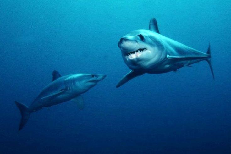 shortfin shark