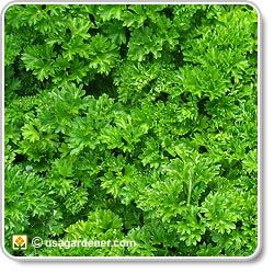 Parsley - growing Parsley - how to grow Parsley/ ATTRACTS: Black Swallowtail Butterflies. An important host plant. Plant with Star Thistle which attracts Mourning Doves. Plant with Roses, Parsley improves the scent of Roses and improves their health. Can plant in Vegetable Garden or Herb Gardens.