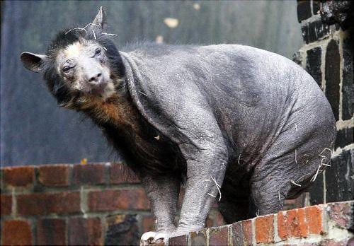 Geschoren beer ! waarom ?