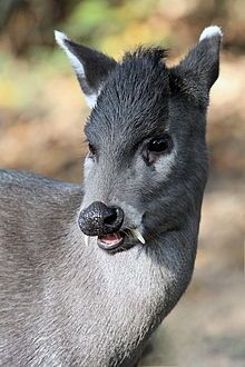 The Tufted deer is a small species of deer characterized by a prominent tuft of black hair on its forehead and fang-like canines for the males. It is a close relative of the muntjac (the barking deer), living somewhat further north over a wide area of central China and northeastern Myanmar.