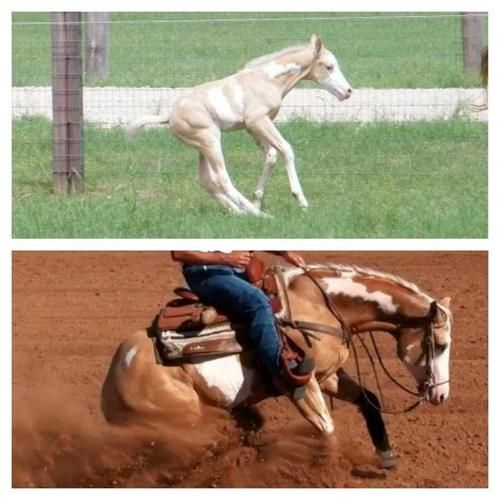 Same horse years later competing... and people say horses don't love their jobs. It's in their blood!