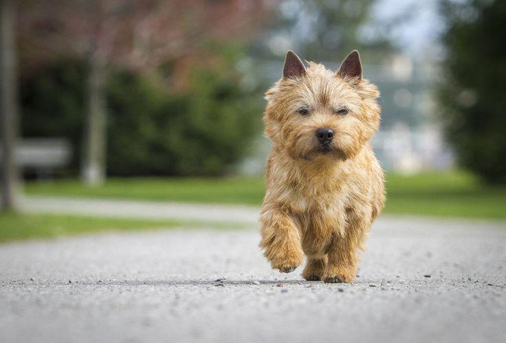 Norwich Terrier - GoodHousekeeping.com