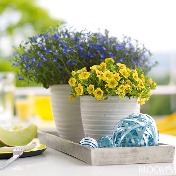 sommerliche balkonpflanzen in blau und gelb zimmerpflanzen balkon terrasse pinterest deko. Black Bedroom Furniture Sets. Home Design Ideas