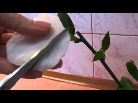 Как наростить корни у детки орхидеи если цветонос желтеет - YouTube