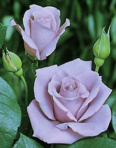 Blue Moon Rose. Looks like Sterling Silver except that it appears to be a floribunda. My favorite, of course!