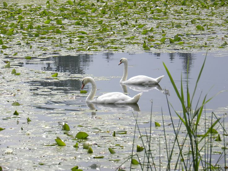 Swans, Pond, Water Lilies, Water, Aquatic Plants
