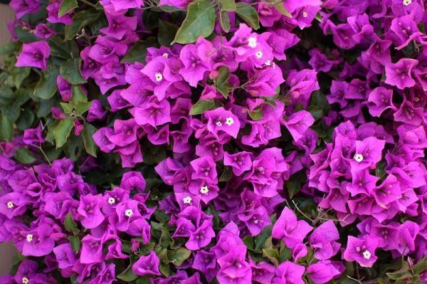 Cómo cuidar una buganvilla. La buganvilla es una planta de origen suramericano conocida también como buganvilia, veranera, trinitaria, Santa Rita... y con muchos otros nombre según el país. Se trata de una colorida enredadera qu...