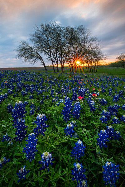 Sunrise in Texas BlueBonnets - Ennis County, Texas