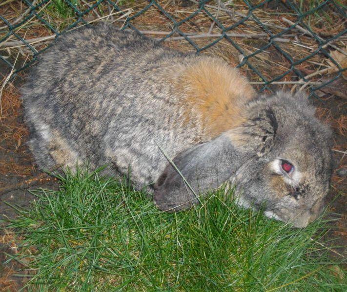 Champion went through a lot. Like our Facebook fan page to learn more  Malgosia's Rabbit Shelter #Hase #Kaninchen #кроль #whiterabbit #兔子 #králík #kanin #jänis #lapin #κουνέλι #kelinci #conejo #ウサギ #兎 #うさぎ #doadopcji #nofilter #króliczek #krolik #l4l #like4like #likeforlike #rabbit #rabbits #bunny #bunnies #rescue